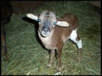 Kamerun-Schaf-Nachwuchs