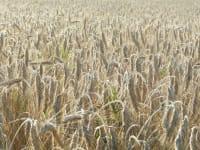 Erntereiche Felder
