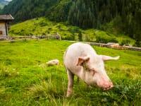 Unsere Almschweine