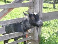 Mecki eine unserer neugierigen Ziegen