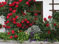 Der Rosenstrauch - duftend frisch