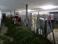Ochsen im Stall