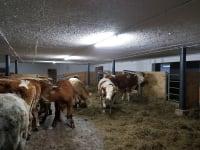 Ochsen im Stall 2