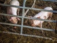 Unsere Schweinderl