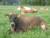Den Somme verbringen die Kühe auf der Weide
