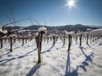 Weingarten im Schnee