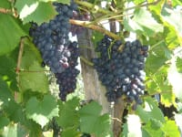im Oktober ist es Zeit für die Weinlese bei der Sie gerne mithelfen können