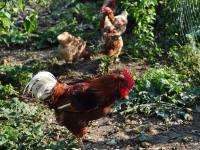 Glückliche Hühner legen das Frühstücksei Altes Gehöft am Lormanberg Steirisches Thermen-und Vulkanland Österreich