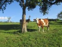 Unsere Rinder fühlen sich sichtlich Wohl auf der Weide