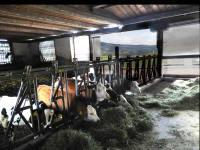Blick in den Stall zu unseren Kühen