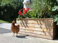 Glückliche Henne