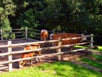 Unsere Kühe im Auslauf