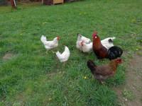 Der Hahn weckt nicht nur die Hühner...