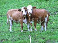 Kühe auf unserer Weide