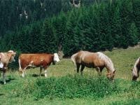 Almkühe und Gastpferd