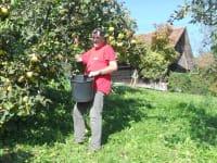 Quittenernte im Obstgarten