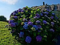 Hortensie beim Garten