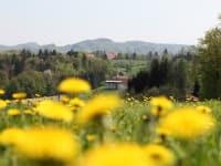 Frühling mit Löwenzahnblüte