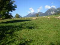 Schafe am Arnoldhof