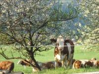 Ferienwohnung Menthof_glückliche Kühe