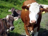 Die einzige Gesellschaft - Kühe auf der Weide