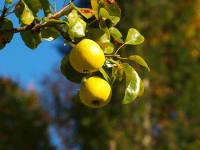 Aus gut gereiften Birnen wird  Schnaps  gebrannt
