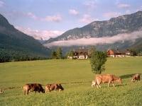 Hof mit Kühen