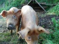 Schweine im Paradies