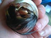 Ente beim Schlupf