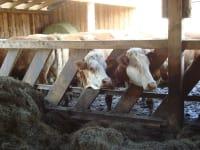 Kühe am Fressgitter