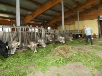 in Stall beim Füttern