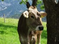 Linharterhof  Kuh