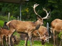 Unsere Hirsche