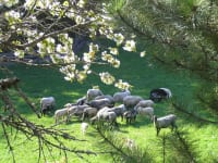 Alpine stone sheep