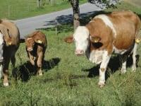 Mutterkühe