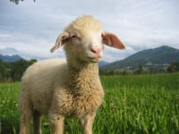 Schafe