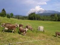 Unser Jungvieh auf der Weide