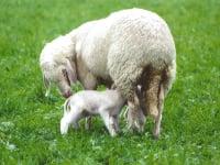 Unser Schaf Lilly mit ihrem Jungen