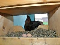 Eier vom Nest holen