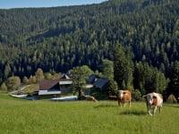 ALMO - Ochsen auf der saftigen Sommerweide