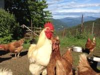 Glückliche Biohühner