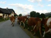 Die Kühe auf dem Weg zur Weide - im Schritt - Marsch!