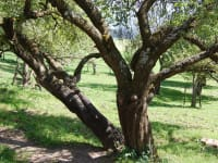 Unser Obstbäume spenden Schatten , Früchte und können Geschichten erzählen