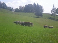 Mutterkühe beim Weiden