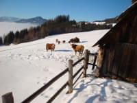 unser Vieh in der Winterlandschaft