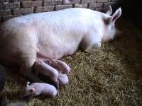 Mutterschwein mit Ferkel