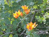 Feuerlilien