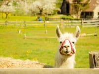 Clyde unser Lama