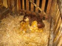 Ein neugeborenes Kalb