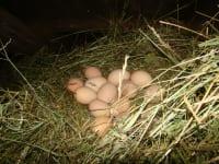 Auch beim Eier abnehmen darf geholfen werden